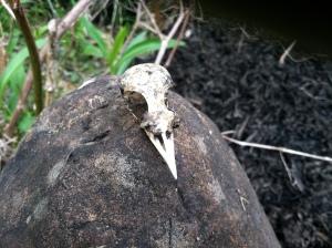 Robin skull